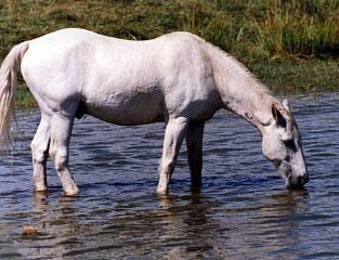 image cheval qui boit